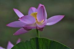 Hun południe lotos Fotografia Stock