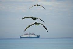 Hun zoeken van pelikanen bidt Royalty-vrije Stock Afbeeldingen