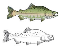 Hunchback salmon fish Royalty Free Stock Images