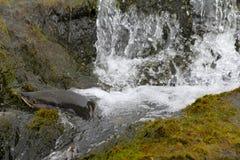 Hunchback salmon (Oncorhynchus gorbuscha) 5 Stock Photography