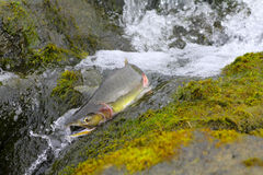 Hunchback salmon (Oncorhynchus gorbuscha) 6 Royalty Free Stock Images