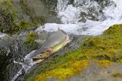 Hunchback salmon (Oncorhynchus gorbuscha) 6 Royalty Free Stock Images