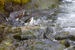 Hunchback salmon (Oncorhynchus gorbuscha) 7 Stock Photo
