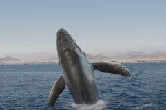 Hunchback whale Stock Images