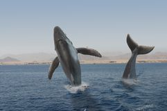 Hunchback whales Royalty Free Stock Images