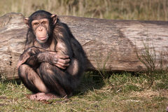 A hunched Chimpanzee. A chimpanzee sitting hunched in front of a tree stock photos
