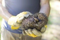 Hunched egel in wordt gehouden dient beschermende handschoenen die in royalty-vrije stock fotografie