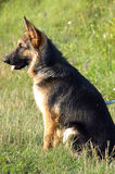 hundängwolf arkivbilder