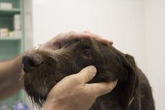 Hundöga som undersöks Royaltyfri Fotografi