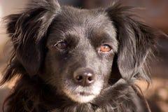 Hundögonen Royaltyfri Bild