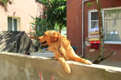 Hund över staketet Arkivbilder