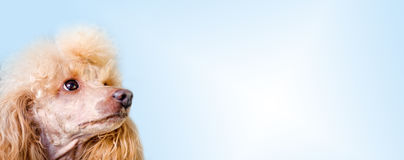 Hund über leerem posterboard Stockbild