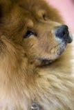 hund 01 Royaltyfria Foton