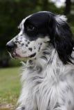 hund 5 Arkivbild