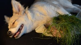 Hund aß Gras und möchte schlafen stock video footage