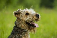 Hund airedale Stockfotos
