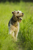 Hund airedale Stockfotos