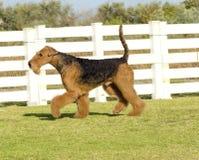Hund Airedales Terrier Lizenzfreie Stockfotos