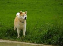 Hund/Akita Inu Stockfoto