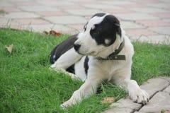 Hund Alabai Schwarzweiss stockfotografie