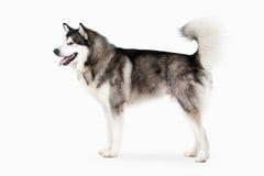 Hund Alaskischer Malamute auf weißem Hintergrund lizenzfreie stockfotos