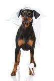 Hund als Braut Stockbilder