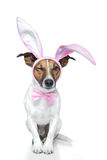 Hund als Osterhase Lizenzfreies Stockfoto