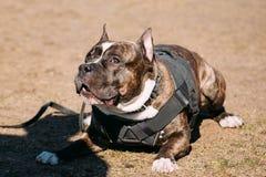 Hund amerikanska Staffordshire Terrier på utbildning Arkivfoton