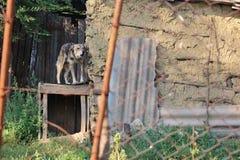 Hund angekettet nahe bei einer alten Scheune Stockbild