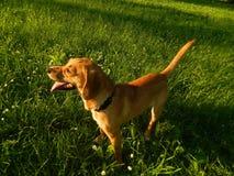 Hund Astra 4 Lizenzfreie Stockfotografie