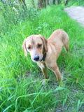 Hund Astra 2 Lizenzfreie Stockfotos