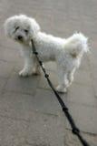 Hund auf Blei (flache Schärfentiefe) Stockbilder