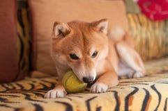 Hund auf Couch mit Kugel Stockfoto