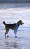 Hund auf dem Eis Stockbild