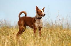 Hund auf dem Gebiet Stockfoto