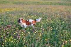 Hund auf dem Gebiet mit Wildflowers Lizenzfreie Stockbilder