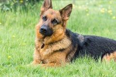 Hund auf dem Gras stockbild