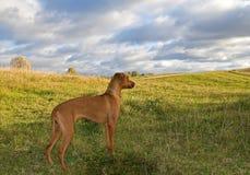 Hund auf dem Hügel Lizenzfreies Stockfoto