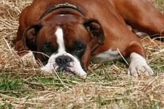 Hund auf dem Heu stockbilder