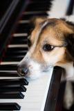 Hund auf dem Klavier Stockfotos