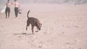 Hund auf dem Strand stock video