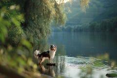 Hund auf dem Wasser Sommer mit einem Haustier Australischer Schäfer in Fluss stockfotografie