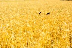 Hund auf dem Weizengebiet Lizenzfreie Stockbilder