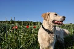 Hund auf dem Weizengebiet Stockfoto