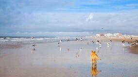 Hund auf den Seemöwen, die auf dem Strand jagen Stockfotografie