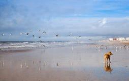 Hund auf den Seemöwen, die auf dem Strand jagen Lizenzfreies Stockfoto