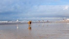 Hund auf den Seemöwen, die auf dem Strand jagen Stockbild