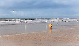 Hund auf den Seemöwen, die auf dem Strand jagen Stockfoto