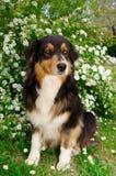 Hund auf den weißen Blumen Lizenzfreies Stockbild