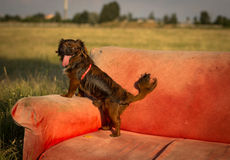 Hund auf der Couch lizenzfreies stockbild